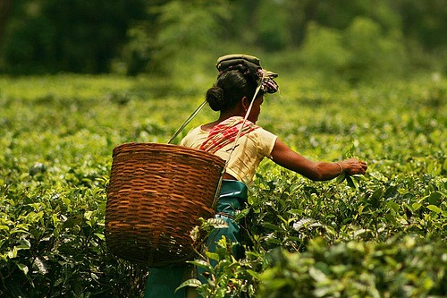photos of tea gardens from our Assam travel guide