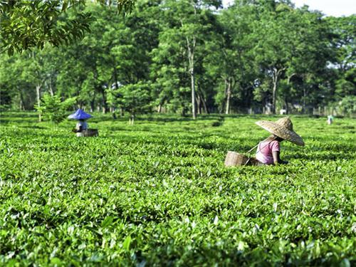 Tea Plantation in Johrat - Assam