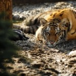 Best wildlife forest reserves to see tigers in India