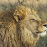 Where do lions live other than the African continent?