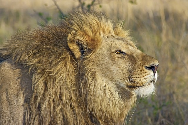 image of natural habitat where do lions live